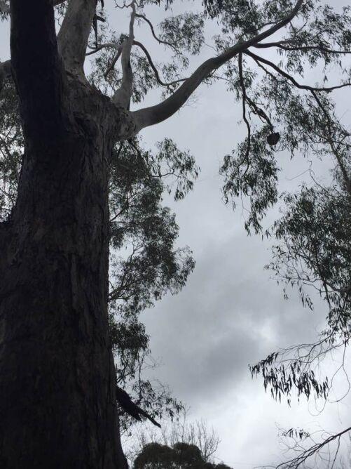 Koala na drzewie gumowym (fot.: Russell Latter)