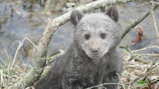 Wychudzony niedźwiadek błąkał się przy drodze
