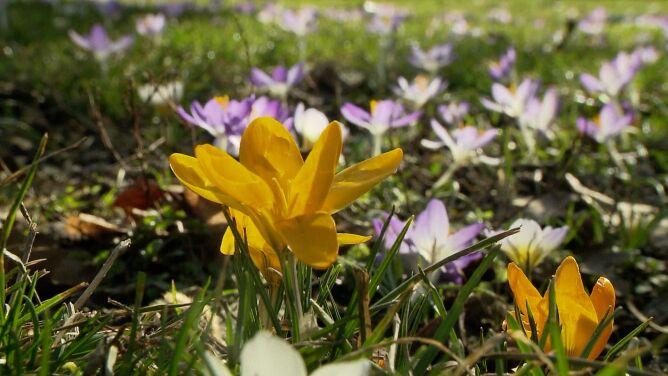 Zakwitły krokusy. Wiosenna aura w Belgii i Niemczech