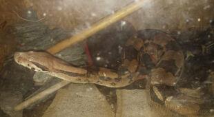 Węża znaleziono w terrarium w piwnicy bloku