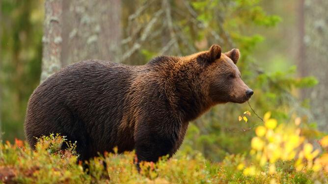 W Bieszczadach wciąż można natknąć się na niedźwiedzia